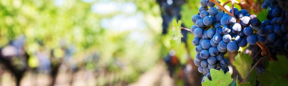 Druivenrassen van Italiaanse witte wijn